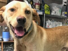 DOG FOUND WITH CARABINER THROUGH ITS NECK;  WCSO SEARCHING FOR OWNER