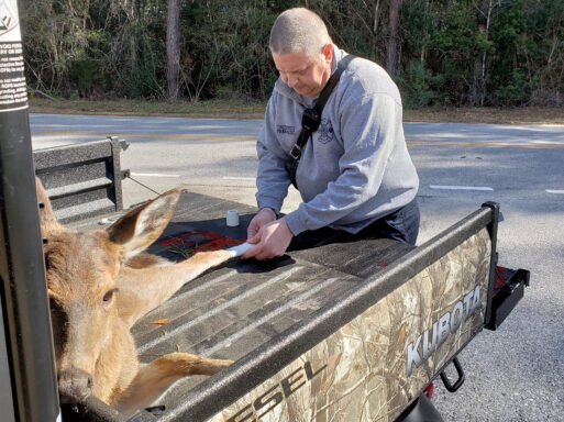 Firefighter/paramedic wearing grey pullover and navy pants dressing a young deer's leg wounds in the back of a utility vehicle